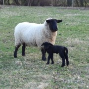 Penzion Alma – ovečky