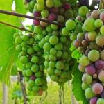 Přijde čas, kdy se moravská vína objeví ve vinotékách po celém světě. New York Times vychvalují Moravu